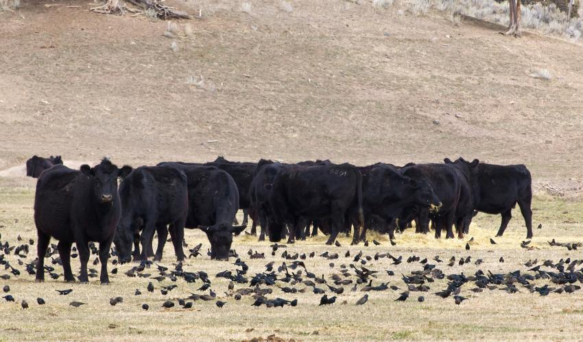 Cattle and birds in pasture.