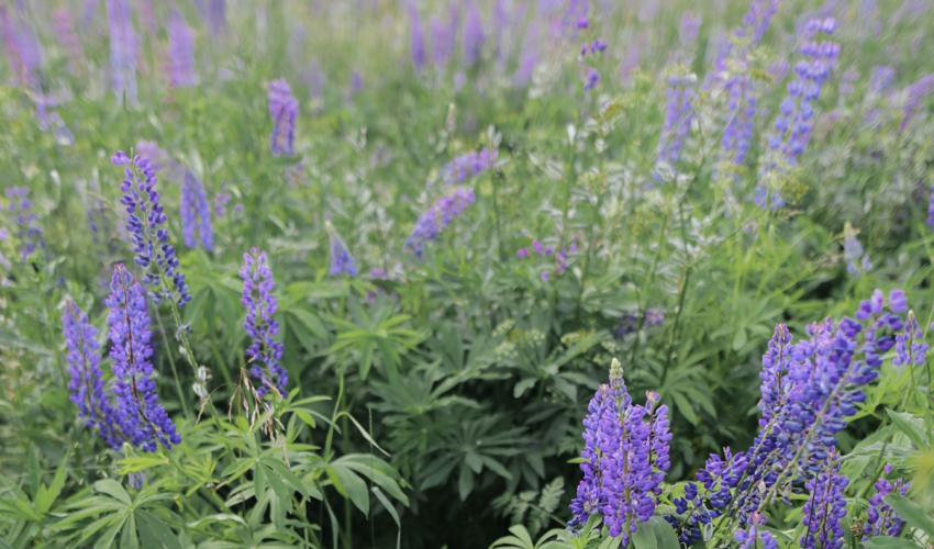 Lupin flowers.
