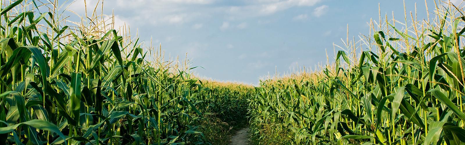 Path through corn field.